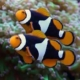 black onyx percula clownfish for sale