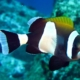 latezonatus clownfish for sale