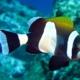 latezonatus clownfish for sale