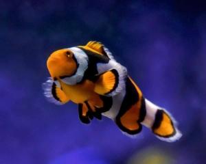 picasso percula clownfish for sale