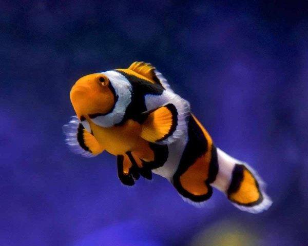 picasso percula clownfish for sale
