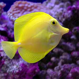yellow tangs for sale