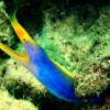 blue ribbon eel for sale
