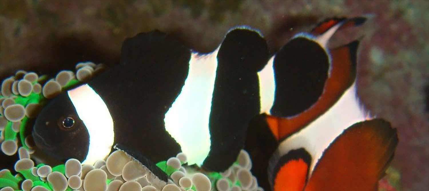 black and white ocellaris clownfish