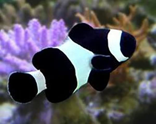 black and white ocellaris clownfish for sale