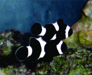 black clownfish
