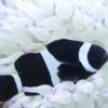 black clownfish for sale