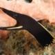 black ribbon eel for sale