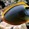 Blonde Naso Tang for sale