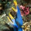 blue ribbon eels