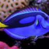 blue tang fish for sale