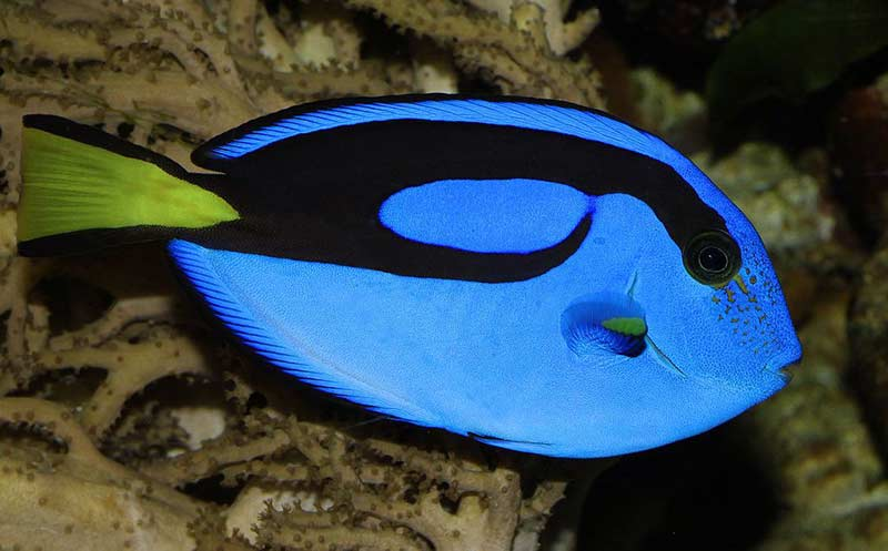 Blue Tang For Sale Blue Tang Fish For Sale Online Captive Bred Blue Tangs