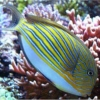 clown tang fish for sale