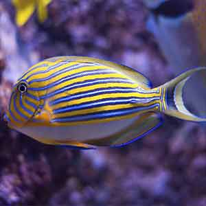 clown tang for sale