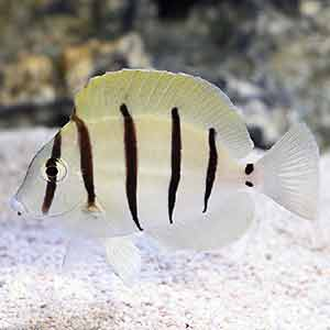 convict tang for sale