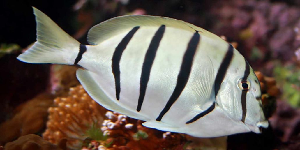 convict tangs for sale