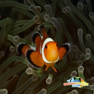 false percula clownfish for sale
