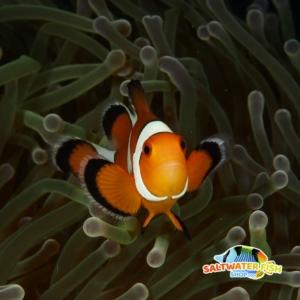 false percula clownfish for sale