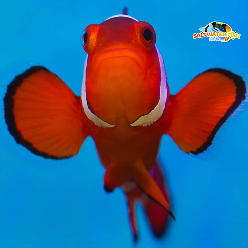 false percula clownfish