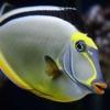 naso surgeonfish