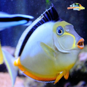 naso tang for sale