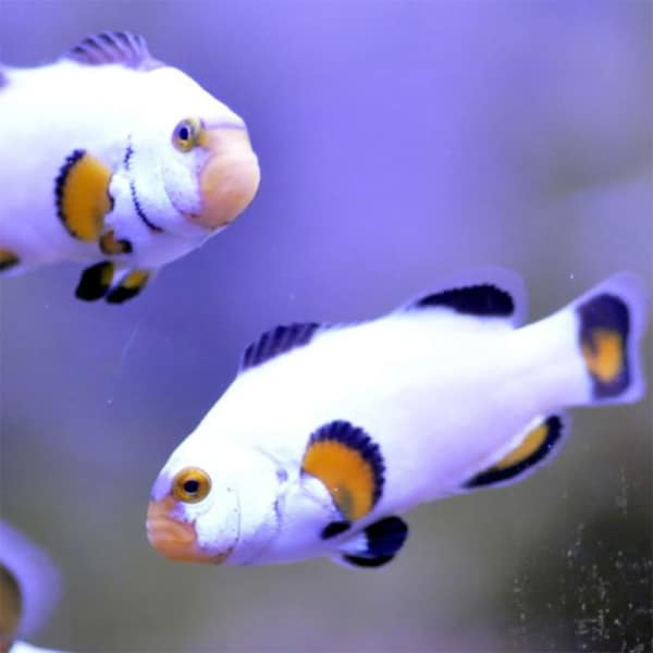 platinum percula clownfish for sale
