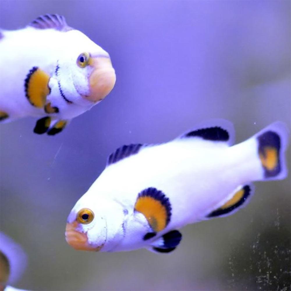 platinum percula clownfish for sale