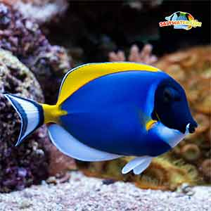 powder blue tangs for sale