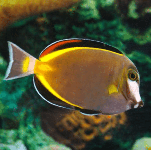 powder brown tang for sale
