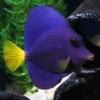 purple tang fish