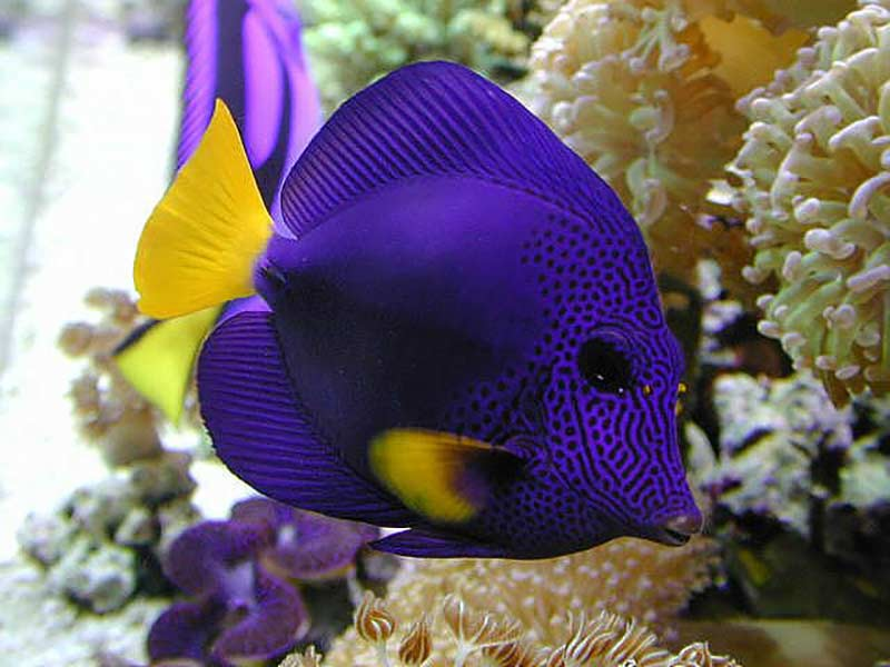 purple tang for sale