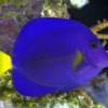 purple tangs