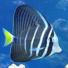 sailfin tang for sale