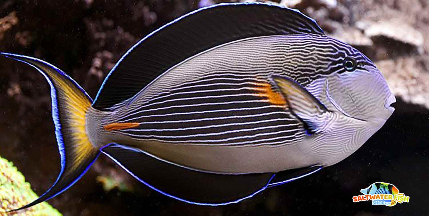 sohal surgeonfish for sale