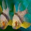 Cardinalfish for sale