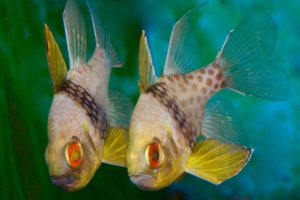 Cardinalfish for sale