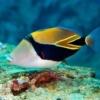 Triggerfish for sale online