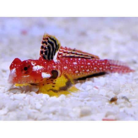 ruby dragonet for sale