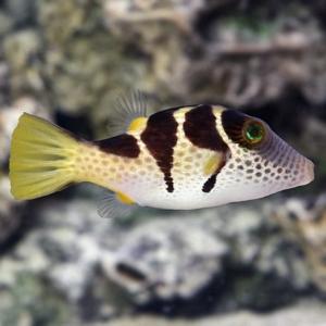 pufferfish for sale
