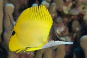 longnose butterfly fish for sale