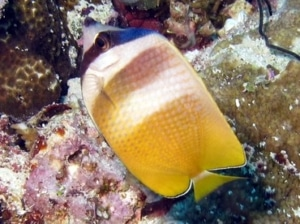 where to buy butterfly fish