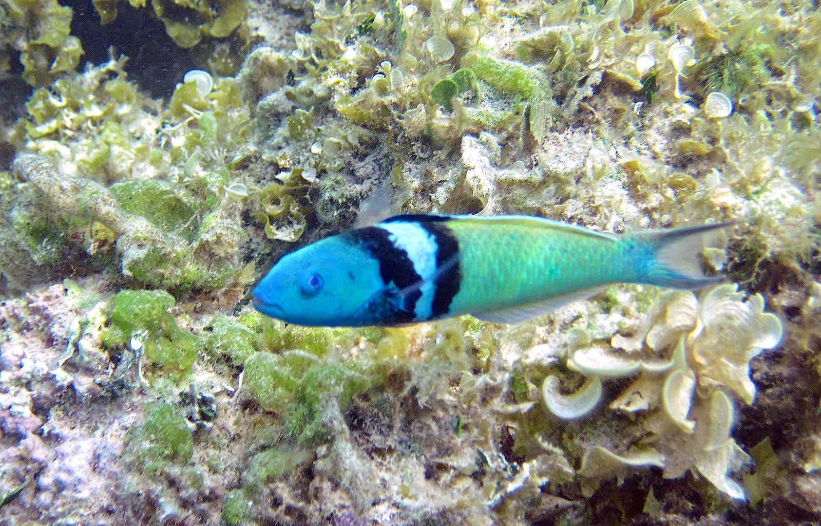 yellow coris wrasse for sale