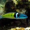 blue head wrasse
