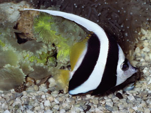butterfly fish for sale