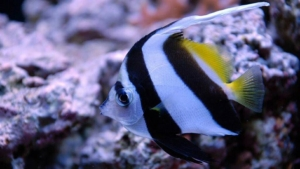 heniochus butterfly fish for sale