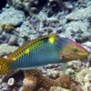 wrasse for sale