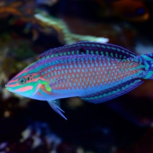 Christmas wrasse for sale