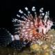 Dwarf Lionfish for sale