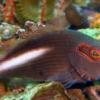 arc eye hawkfish for sale