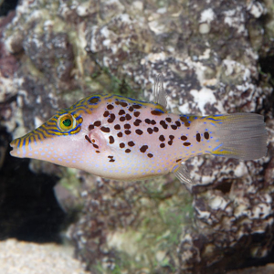 puffer for sale